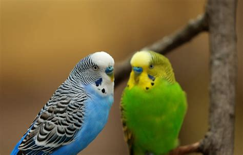 what can a bird do parakeets show empathy through contagious yawning