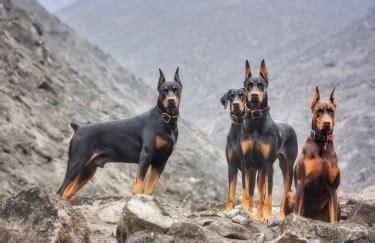 purebred doberman puppies  sale  maypen kingston st