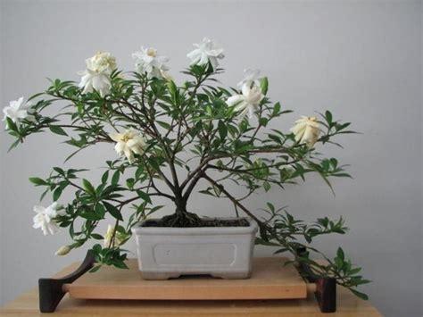 vasi da bonsai bonsai gardenia attrezzi e vasi per bonsai gardenia bonsai