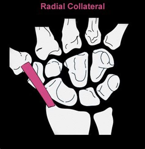 lateral collateral ligament of wrist lcl of wrist radial