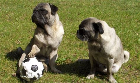 pugs snouts pugs info and