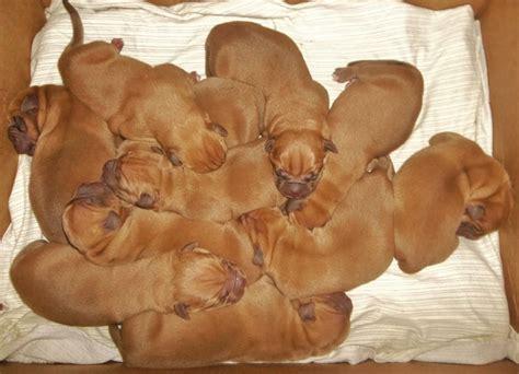 mastiff puppies michigan mastiff dogue de bordeaux mastiff for sale in india breeds picture