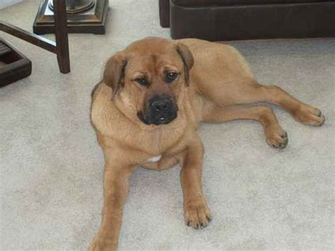 mastweiler puppies mastweiler rottweiler mastiff mix info puppies pictures