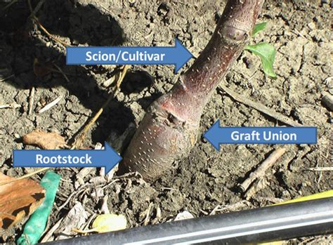 scion and rootstock rootstocks are base for all commercially available apple