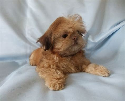 chocolate shih tzu puppies chocolate orange imperial shih tzu puppies romsey hshire pets4homes