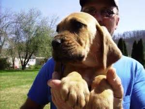 bloodhound puppies for sale in ky bloodhound puppies in kentucky