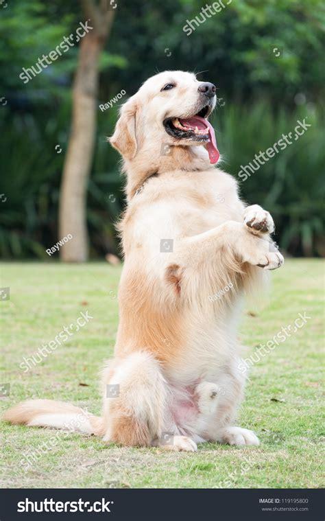 golden retriever leg problems golden retriever sitting on hind legs stock photo 119195800