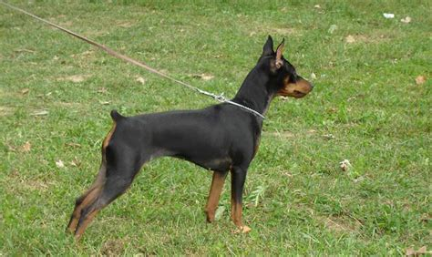 mini pinscher miniature pinscher breed standards
