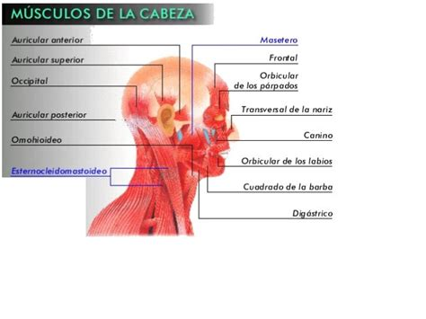 de la cabeza a 0060513136 cuerpo musculos de la cabeza