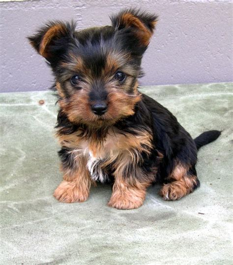 silky terrier puppies small terrier dogs car interior design