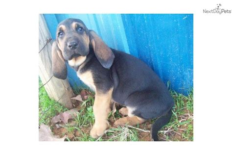 bloodhound puppies near me bloodhound puppy for sale near fort smith arkansas 9ac84455 0a51