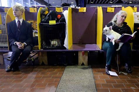 benched dog show dogs on parade at the 137th westminster kennel club show