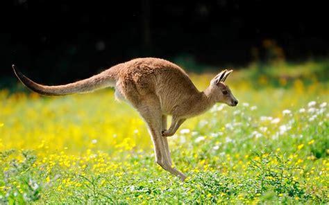 animal wildlife kangaroo images  facts
