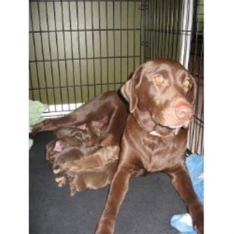 lab puppies kentucky terry s kennels labrador retriever breeder in oak grove kentucky