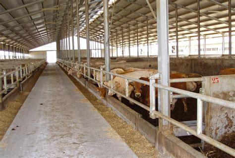 alimentazione bovini da carne capannoni per bovini da carne miglioranza srl sandrigo vi