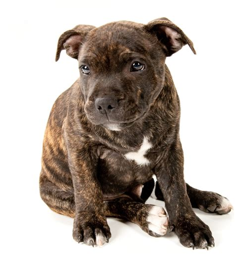 staffordshire terrier puppy brindle staffordshire bull terrier puppies