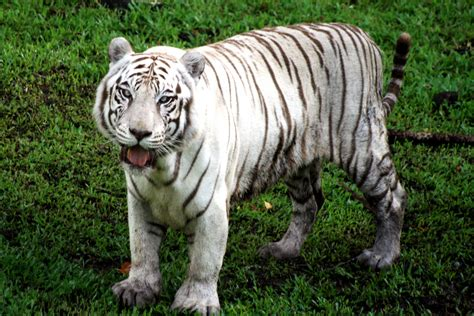 bengal tiger informationreport home