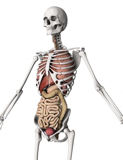 corpo umano immagini organi interni il rendering 3d di uno scheletro con organi interni