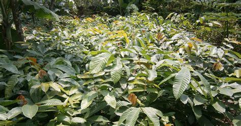 Bibit Kopi Coklat segala jenis tanaman bibit matoa