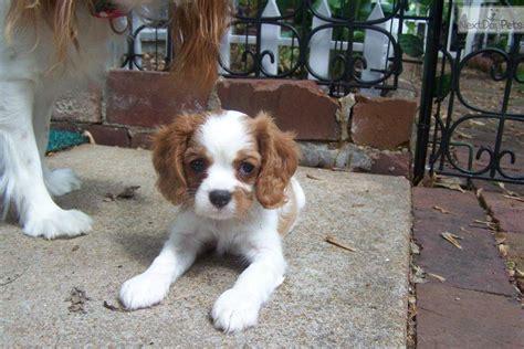 st charles cavalier puppies cavalier king charles spaniel puppy for sale near st louis missouri ff7fbbab 19f1