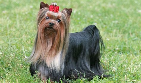 how is a yorkies span terrier breed information
