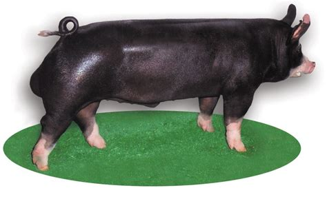 major breeds major swine breeds pork checkoff