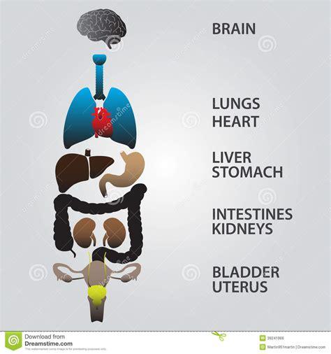 mappa organi interni corpo umano colori gli organi interni corpo umano illustrazione