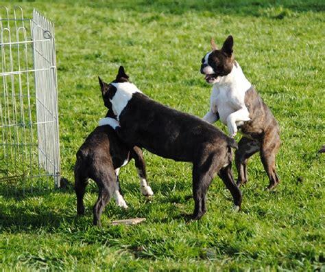 La Grange Enchantee photo elevage de la grange enchant 233 e eleveur de chiens
