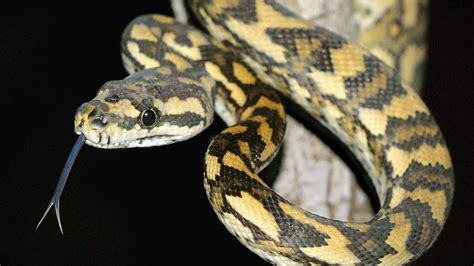 black and white diamond pattern snake what is a black snake with yellow diamonds reference com