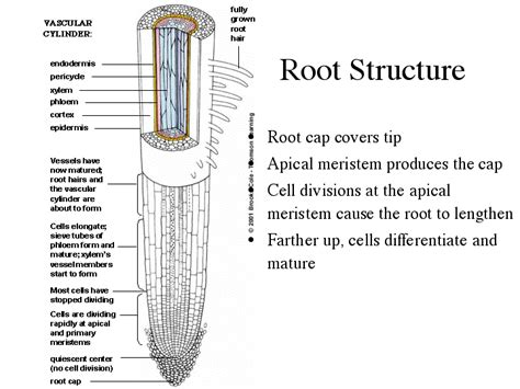 root structure diagram image gallery root diagram