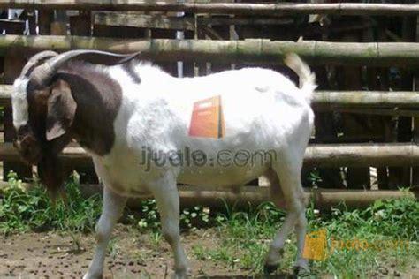 Jual Bibit Kambing jual kambing boer bibit trah pedaging malang jualo