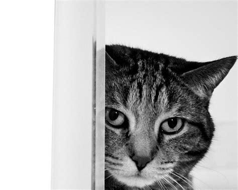 cat wallpaper for home cat wallpaper for home wallpapersafari