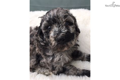 aussiedoodle puppies for sale nc aussiedoodle puppy for sale near jacksonville carolina 826a4303 bc91