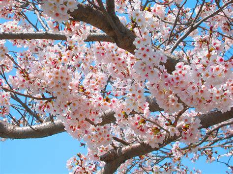 wallpaper daun musim semi gambar wallpaper bunga sakura jepang gudang wallpaper