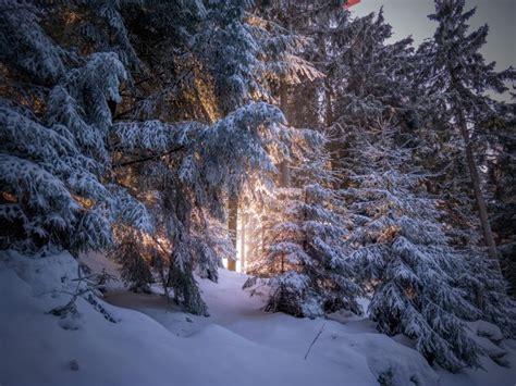 forest snow winter sunlight trees