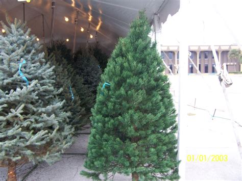 best selection of scotch pine christmas trees for sale in