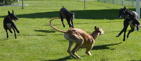 home greyhound pets of america canada