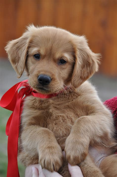 luxury puppies picture 7 of 23 golden retriever puppies luxury golden retrievers sheslap