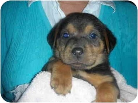 shar pei rottweiler mix puppies shar pei rottweiler mix puppies