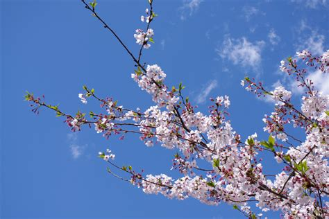 when did japan give us cherry blossoms when is the best time to view cherry blossoms in japan