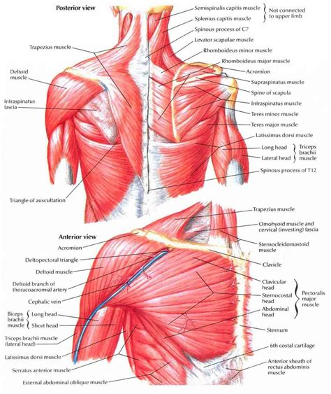 shoulder diagram human anatomy shoulder muscles human anatomy system
