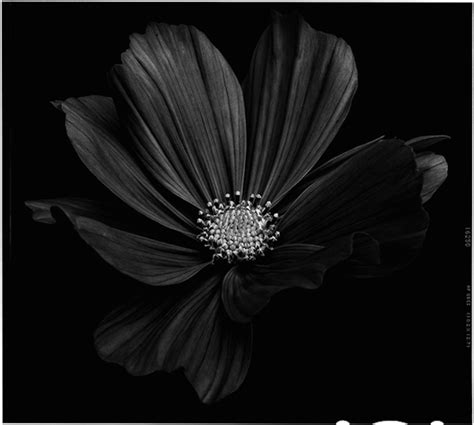 Flower Black black to black flowers 4 fubiz media