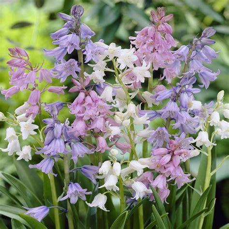 50 bluebell mix hyacinthoides hispanica wood hyacinth