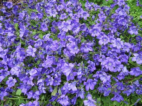 blue flowering shrubs in florida blue and purple flowering plants that grow easily in