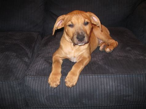 pit golden retriever mix 57 best images about i want i want i want on mastiff knuckle