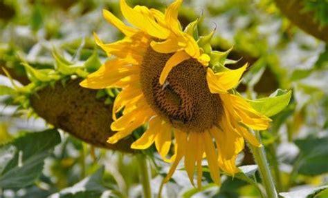 girasole in vaso girasole coltivazione cura e cose da sapere