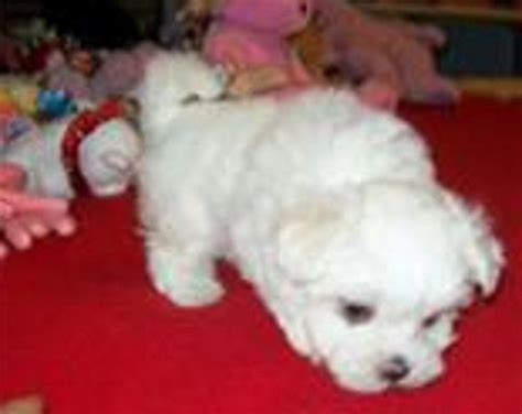 puppies for sale in oklahoma teacup maltipoo puppies for sale adoption from muskogee oklahoma breeds picture