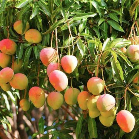 mango tree with fruits mango suvarnarekha fruit plants tree exoticflora