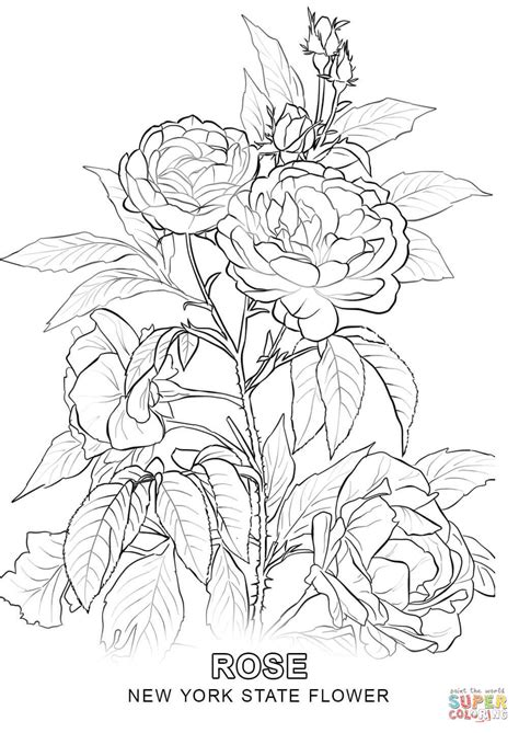 new york state flower coloring page free printable