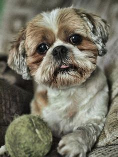 Shoo K9 Teddy Dogs 710ml shih tzu teddy cut grooming shop my
